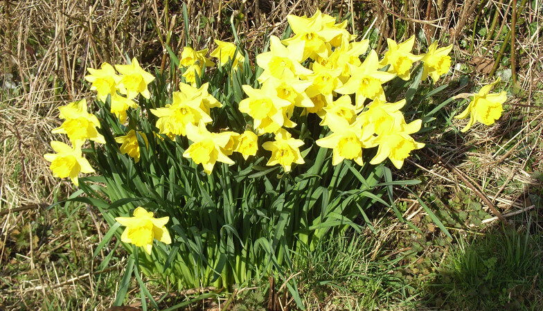 About 30 daffodils growing wild